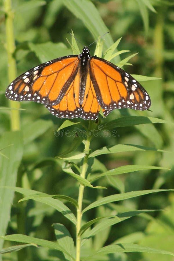 Monarch auf Anlage stockbilder