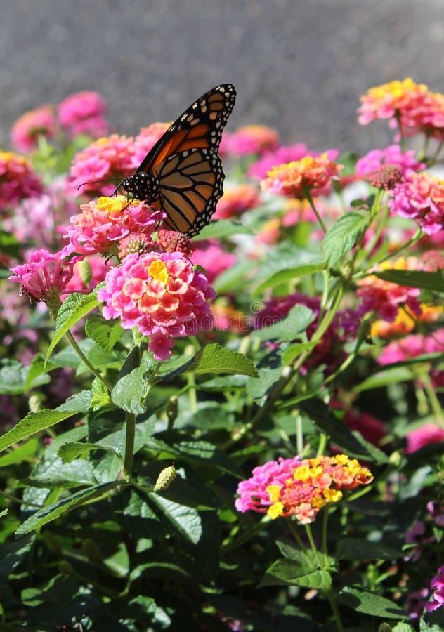 Monarch auf Blume stockfoto