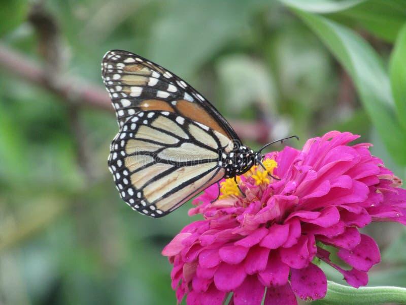 Monarch auf Blume lizenzfreie stockbilder