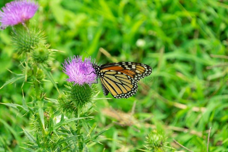 Monarch auf Distel lizenzfreies stockfoto