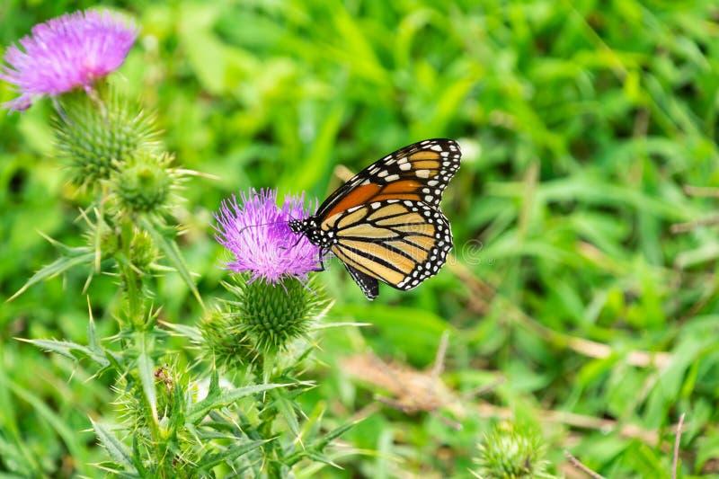 Monarch auf Distel lizenzfreie stockbilder