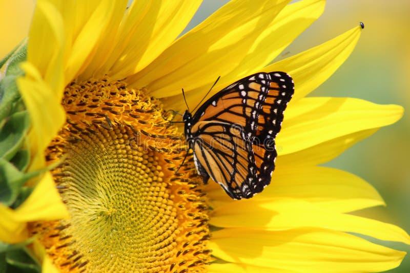 Monarch auf Sonnenblume lizenzfreie stockbilder