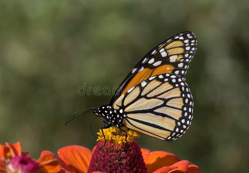 Monarch auf Zinnia lizenzfreie stockfotografie