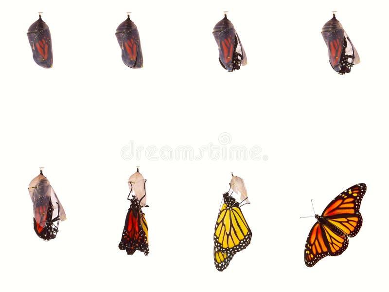 Monarch-Auftauchen lizenzfreies stockfoto
