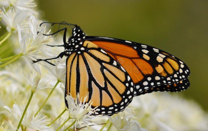 Monarch-Basisrecheneinheit lizenzfreie stockfotografie