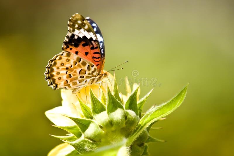 Monarch-Basisrecheneinheit auf gelber Blume lizenzfreie stockfotografie