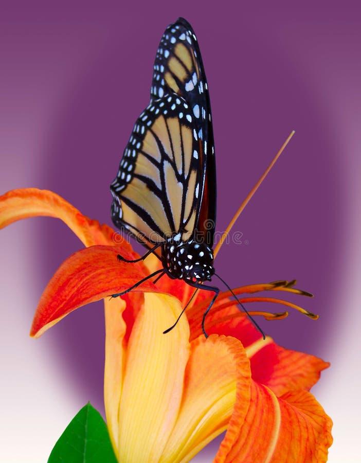 Monarch-Basisrecheneinheit auf Tiger-Lilie stockfotografie