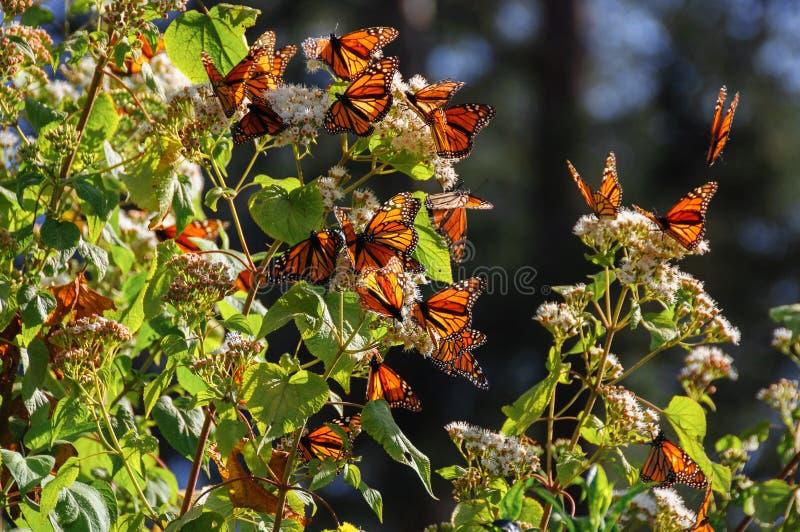 Monarch-Basisrecheneinheits-Biosphäre-Vorbehalt, Mexiko lizenzfreie stockbilder