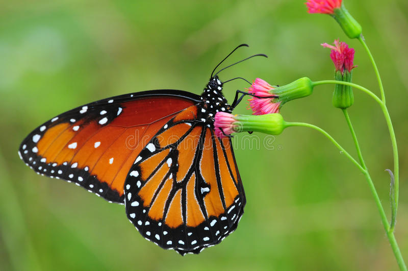 Monarch. Beautiful Queen (Danaus gilippus) butterfly posed on a red flower feeding stock photos
