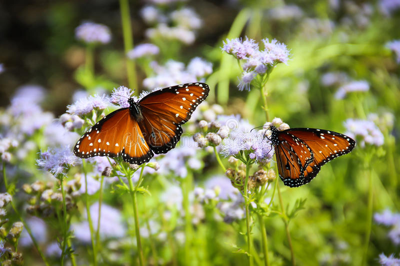 Monarch Butterfles. Monarch Butterfly Migration in Fredericksburg Texas at the Wildseed Farms royalty free stock image
