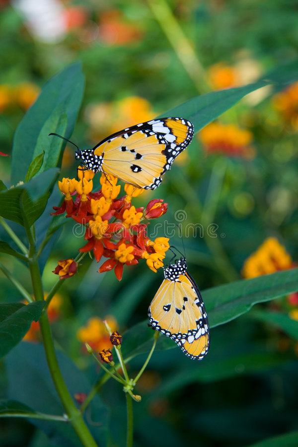 Download Monarch Butterflies stock image. Image of color, colored - 2049177