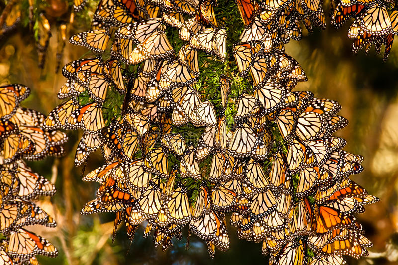 Monarch Butterflies. Large Cluster of Migrating Monarch Butterflies on Juniper Tree Branch