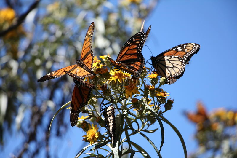 Monarch Butterflies. The monarch butterfly (Danaus plexippus). Taken in the the Rosario sanctuary of the Mariposa Monarca Biosphere Reserve in Mexico. The royalty free stock photo