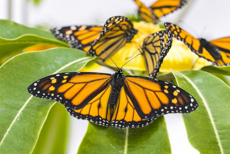 Monarch butterflies, close up macro shot stock photo