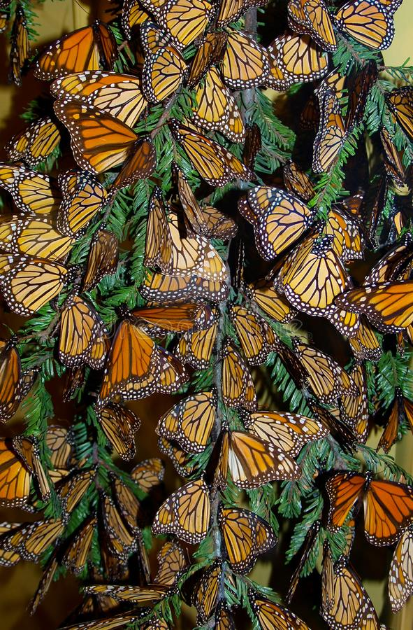 Monarch Butterflies Danaus Plexippus. The monarch butterfly Danaus plexippus is an insect in the Nymphalidae family and is the best-known butterfly in North royalty free stock photography