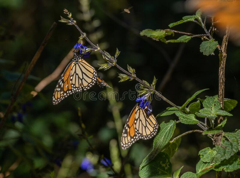 Monarch butterflies Danaus plexippus feeding in the Mexican sanctuary of El Capulin, Donato Guerra, eating nectar and pollen. From a purple flower stock image