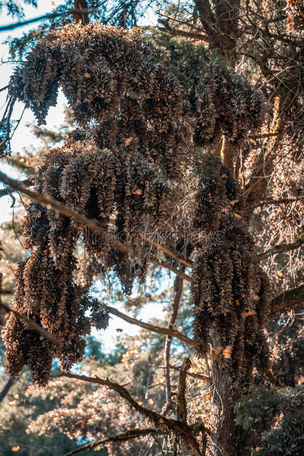 Monarch butterflies Danaus plexippus grouped in a pine tree in the Mexican sanctuary of El Capulin, Donato Guerra. All united to conserve heat in a cluster. 2 royalty free stock photos