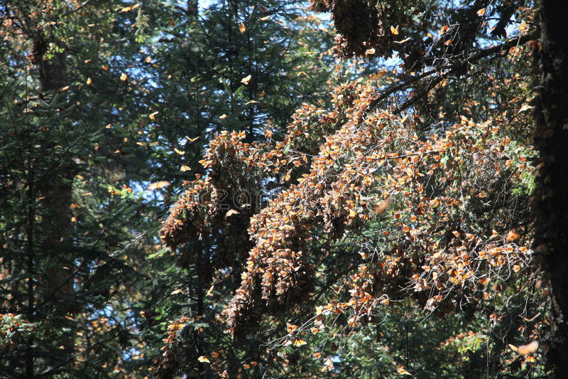 Monarch Butterflies fly. The monarch butterfly (Danaus plexippus). Taken in the the Rosario sanctuary of the Mariposa Monarca Biosphere Reserve in Mexico. The stock image