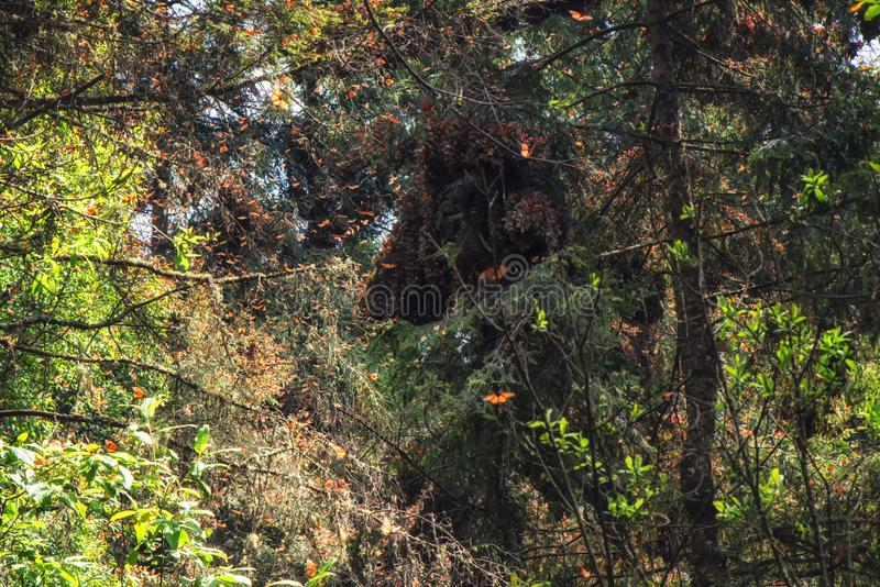 The Monarch butterflies flying at the Monarch Butterfly Sanctuary Re. Monarch butterflies in a forest at the Monarch Butterfly Biosphere Reserve in Michoacan royalty free stock images