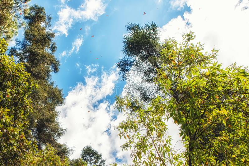Monarch butterflies flying at the Monarch Butterfly Sanctuary Re stock images