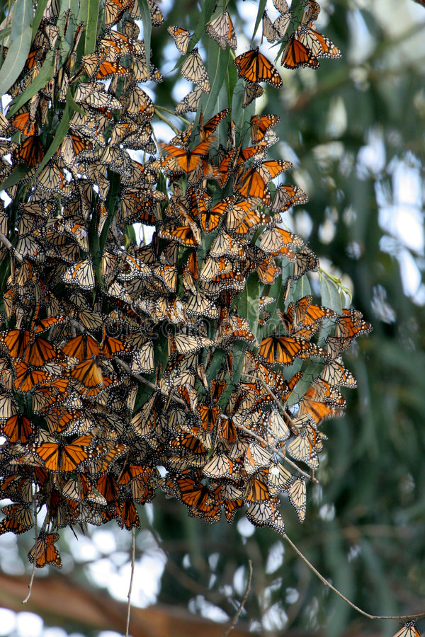 Monarch Butterflies gather in wildlife area stock photos