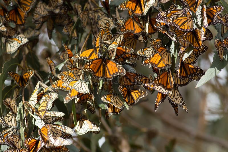 Monarch butterflies gathered on a tree branch during the autumn. Migration (Danaus plexippus), California, California coast, Pismo Beach, Taken 01/2014 royalty free stock image