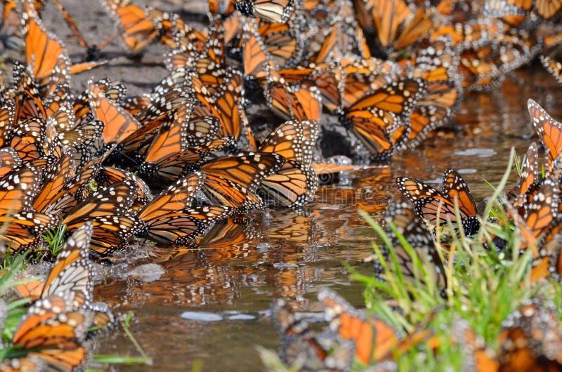 Monarch Butterflies, Michoacan, Mexico. Monarch Butterflies around water on the ground, Michoacan, Mexico stock photos