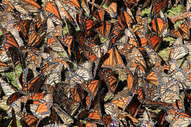 Monarch Butterflies, Michoacan, Mexico. Monarch Butterflies in Michoacan, Mexico, millions are migrating every year and waking up with the sun stock photo