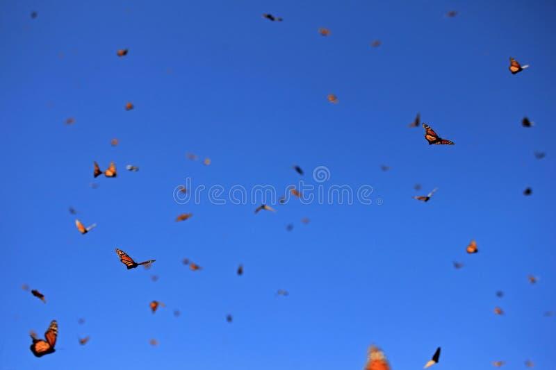 Monarch Butterflies, Michoacan, Mexico stock photos