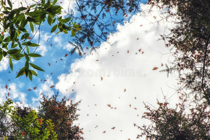 The Monarch butterflies flying at the Monarch Butterfly Sanctuary Re. Monarch Butterflies in Michoacan, Mexico, millions are migrating every year and waking up royalty free stock photos