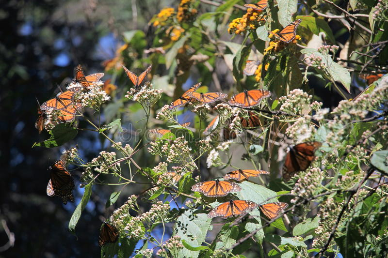 Monarch Butterflies Migration. The monarch butterfly (Danaus plexippus). Taken in the the Rosario sanctuary of the Mariposa Monarca Biosphere Reserve in Mexico stock photo