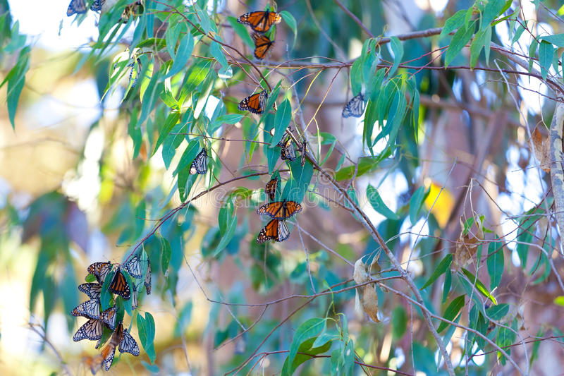 Monarch butterflies. Resting at tree branches at winter in california stock photo