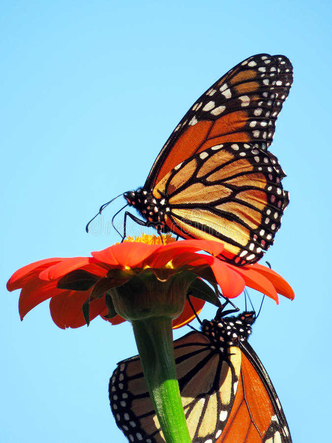 Monarch Butterflies in Summer. Photo of two monarch butterflies feeding on the nectar of a flower during summer stock photos