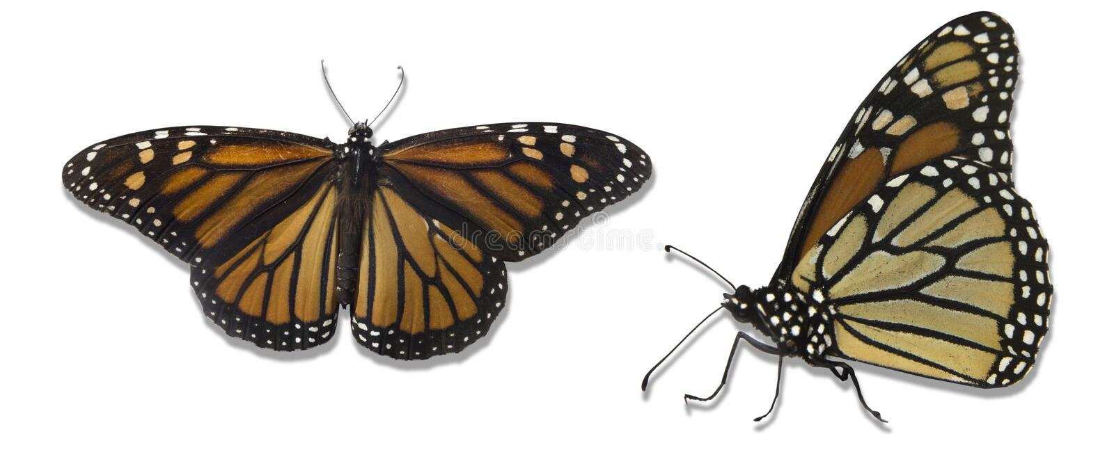 Monarch butterflies isolated over white background royalty free stock image