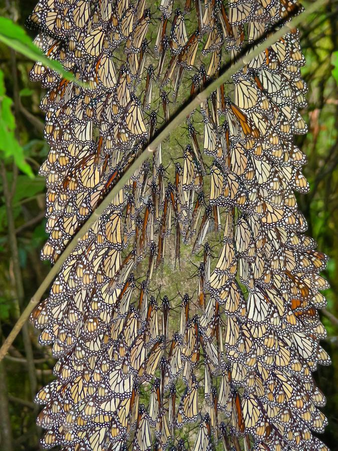Monarch Butterflies on the tree branches at the Monarch Butterfly Biosphere Reserve in Michoacan, Mexico. royalty free stock images