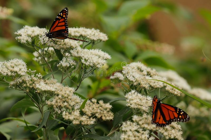 Monarch butterflies on white wild flowers in the late summer.. royalty free stock image