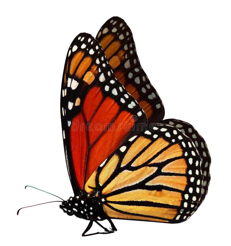 Free Monarch Butterfly Royalty Free Stock Image - 10807226