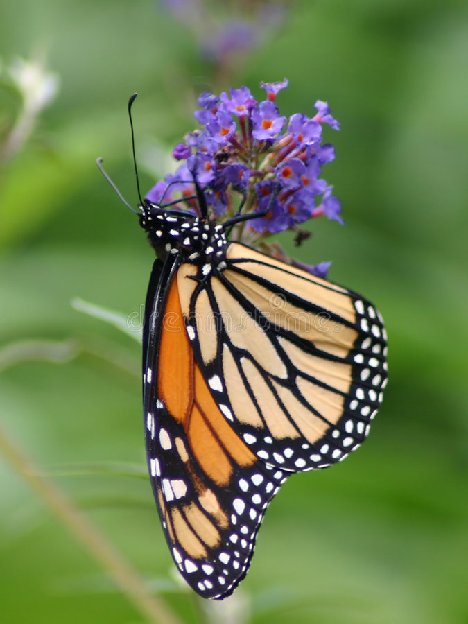Monarch Butterfly. On purple butterfly weed stock photography