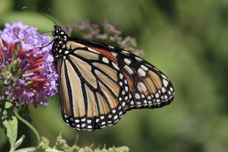 Download Monarch Butterfly Royalty Free Stock Photo - Image: 1156245