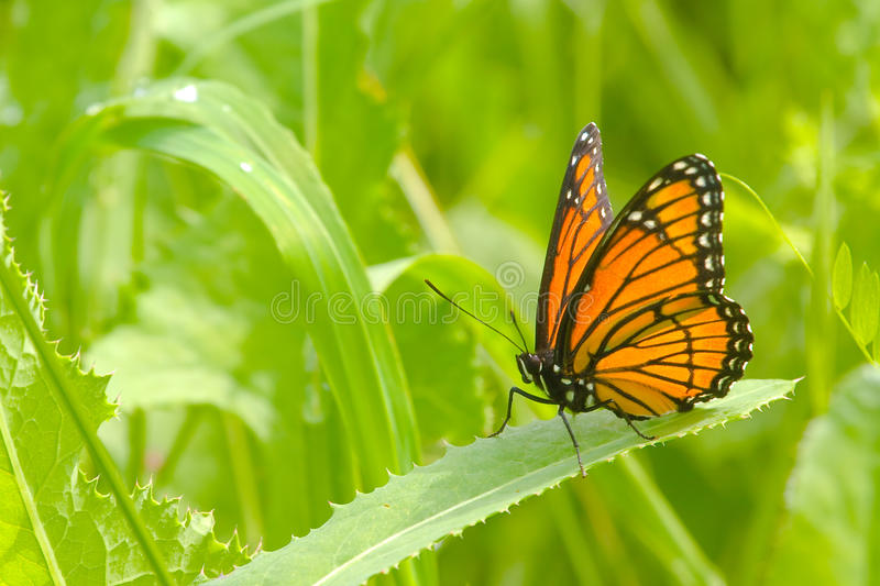 Monarch Butterfly. On a Leaf in a Field stock photos