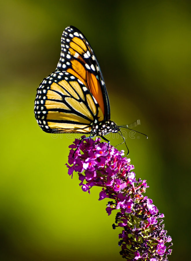 Download Monarch butterfly stock photo. Image of feeler, scenic - 1242410