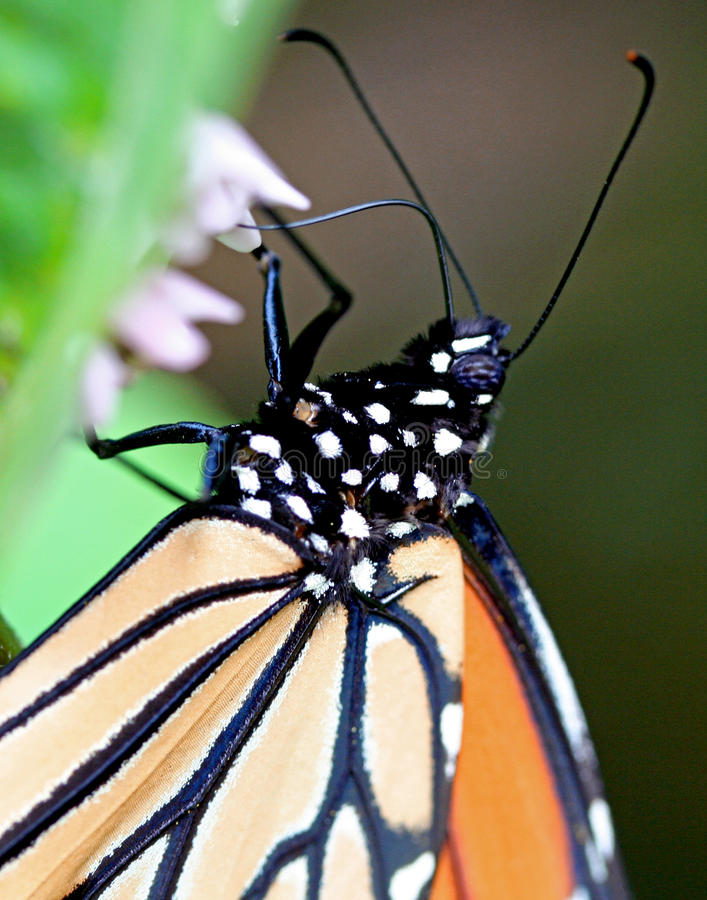 Monarch Butterfly. A close-up of a Monarch Butterfly on a milkweed plant stock photos