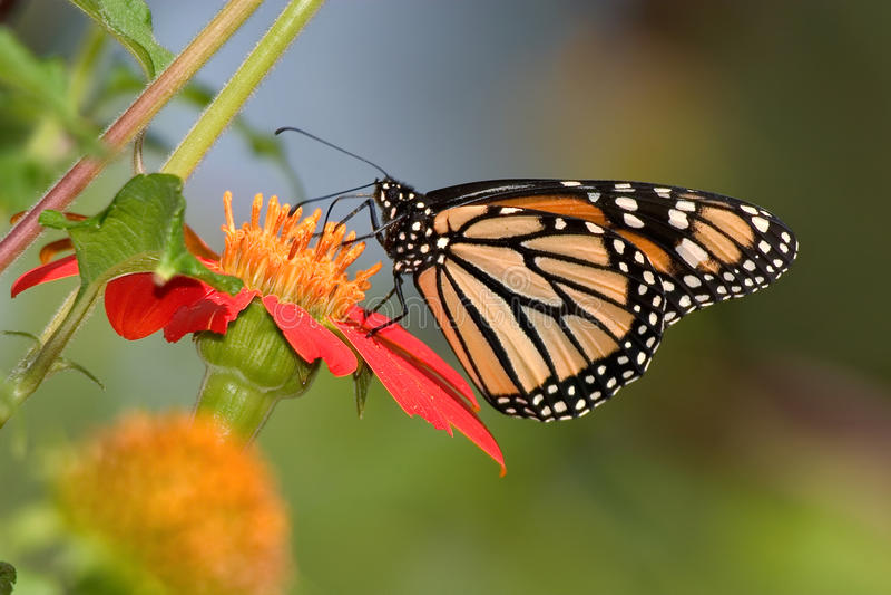 Monarch Butterfly. On A Red Flower, Danaus plexippus stock photos