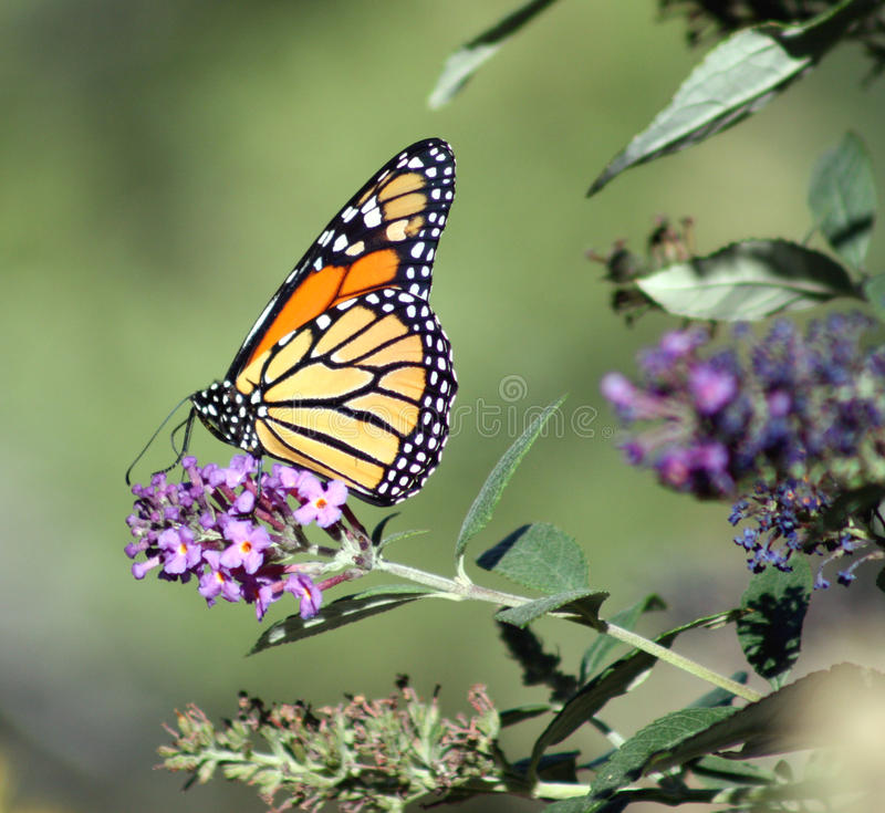 Download Monarch butterfly stock photo. Image of butterfly, wanderer - 16192958