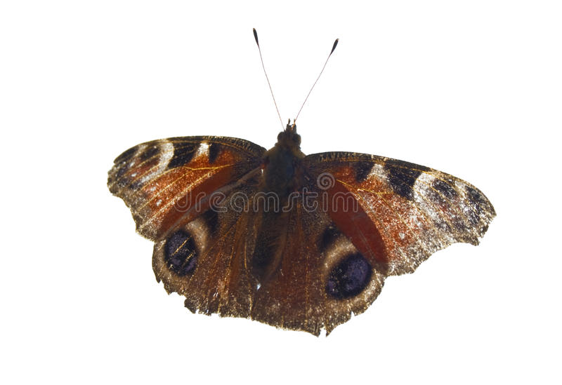 Download Monarch Butterfly stock image. Image of wing, single - 16901795