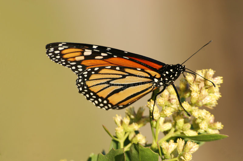 Monarch Butterfly. Close up of monarch butterfly posing on flowers royalty free stock photos