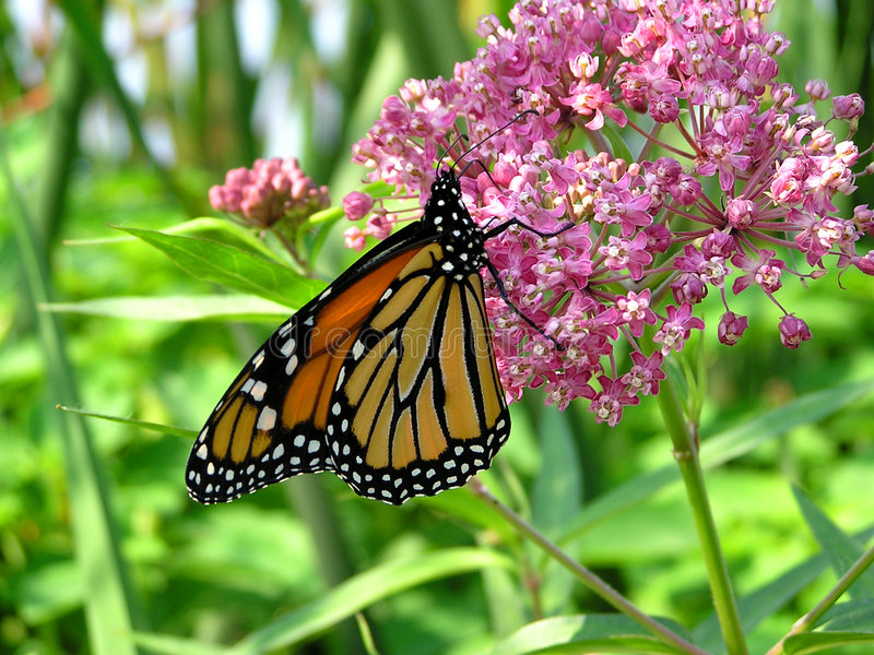 Download Monarch Butterfly stock image. Image of nectar, orange - 173415