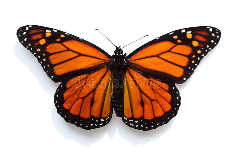 Download Monarch Butterfly stock image. Image of migratory, yellow - 20556983