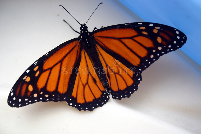 Download Monarch Butterfly stock photo. Image of background, beautiful - 2316204