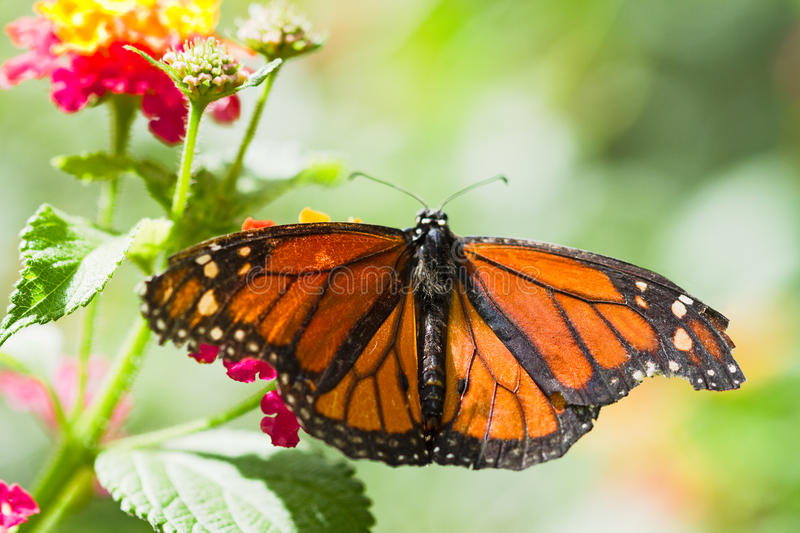 Download Monarch butterfly stock image. Image of orange, insect - 26081307